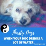 Thirsty Dogs: Concern for When Your Dog Drinks More Water