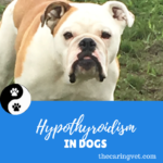Hypothyroid dogs classically are overweight and tend to be inactive.